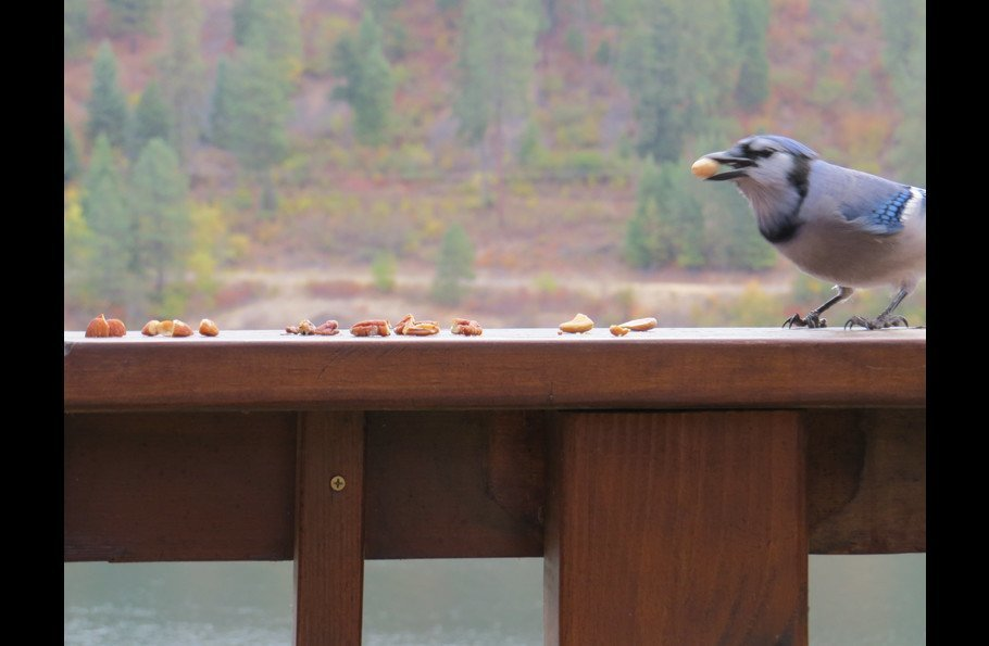 Blue Jay picking out their prized peanut